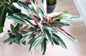 Jenis-jenis tanaman hias Calathea yang cantik tapi murah 4