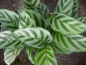Jenis-jenis tanaman hias Calathea yang cantik tapi murah 5