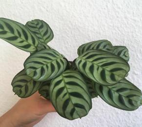 Jenis-jenis tanaman hias Calathea yang cantik tapi murah 7