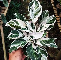 Jenis-jenis tanaman hias Calathea yang cantik tapi murah 9