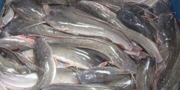 Cara Ternak Ikan Lele Yang Benar 12