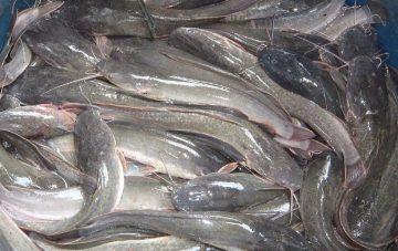 Cara Ternak Ikan Lele Yang Benar 13