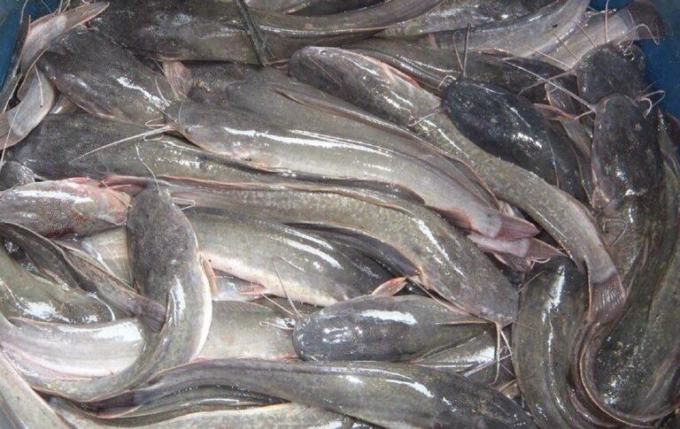 Cara Ternak Ikan Lele Yang Benar 1