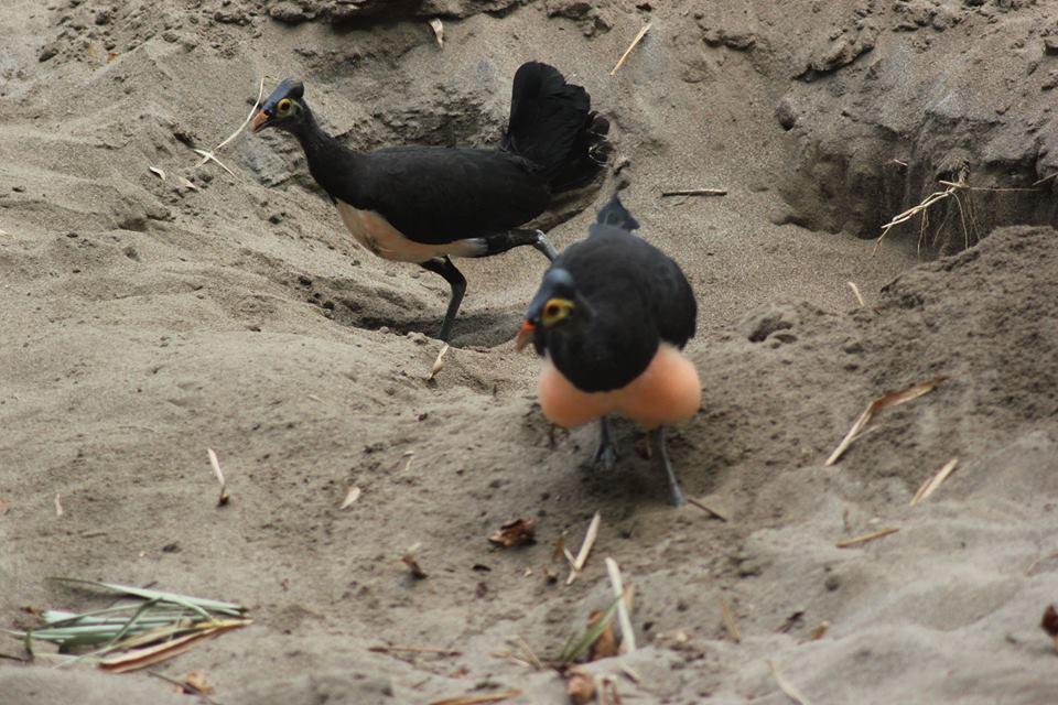 Burung maleo menggali tanah untuk tempat telur