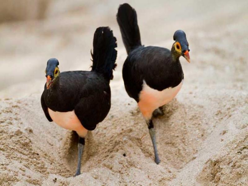 sepasang burung maleo