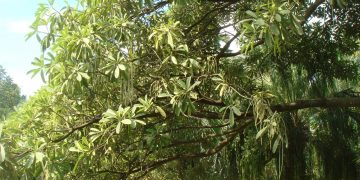 Pohon Iblis Penghuni Monas 16