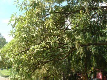 Pohon Iblis Penghuni Monas 4