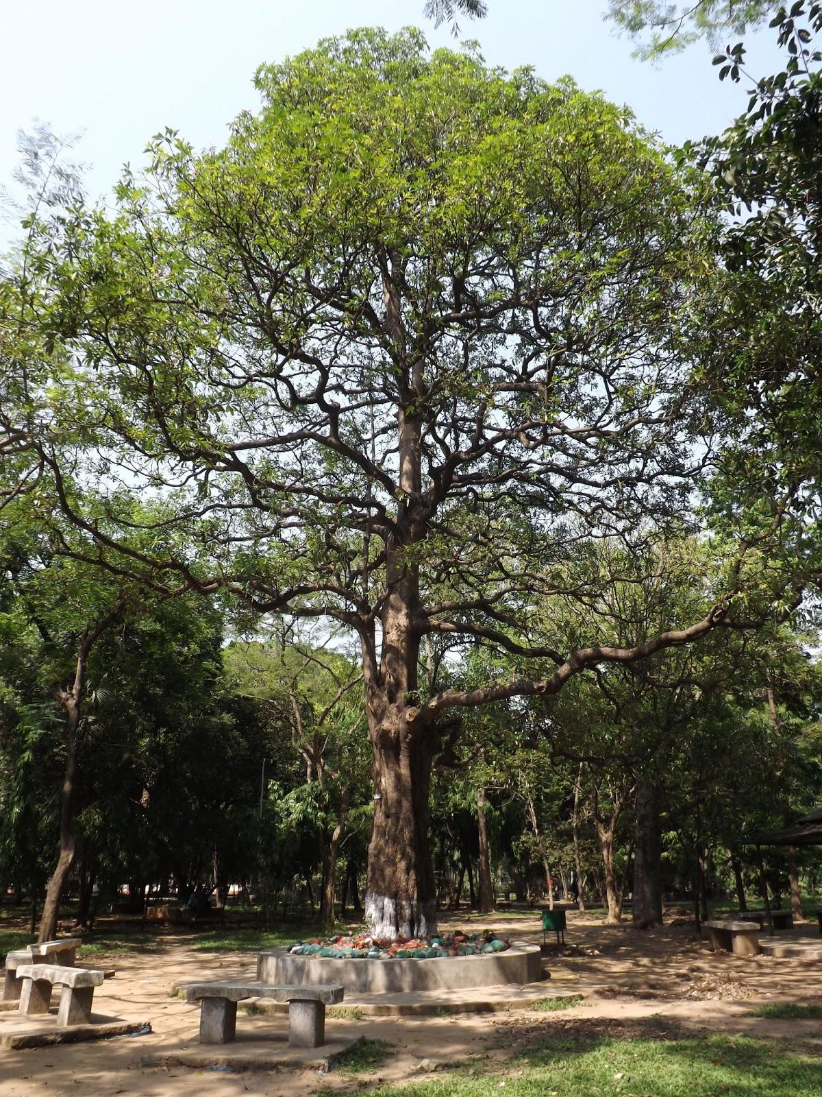 Jenis pohon Alstonia Scholaris yang dianggap sebagai pohon iblis.