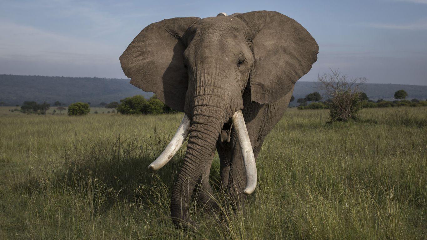 Telinga gajah Afrika bisa mencapai 1,2 meter panjangnya. (dok. livescience)