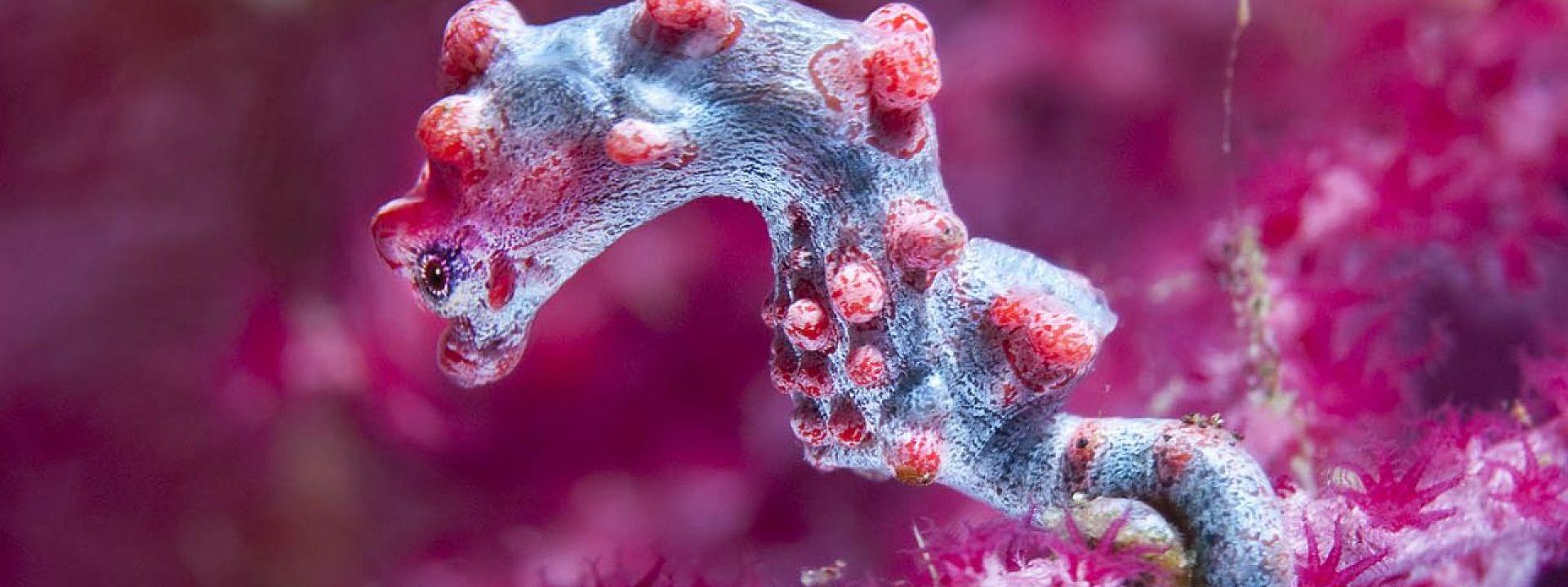 Pygmy Seahorse yang kerap terlihat di wreck Tulamben. (dok. okdiversbali)