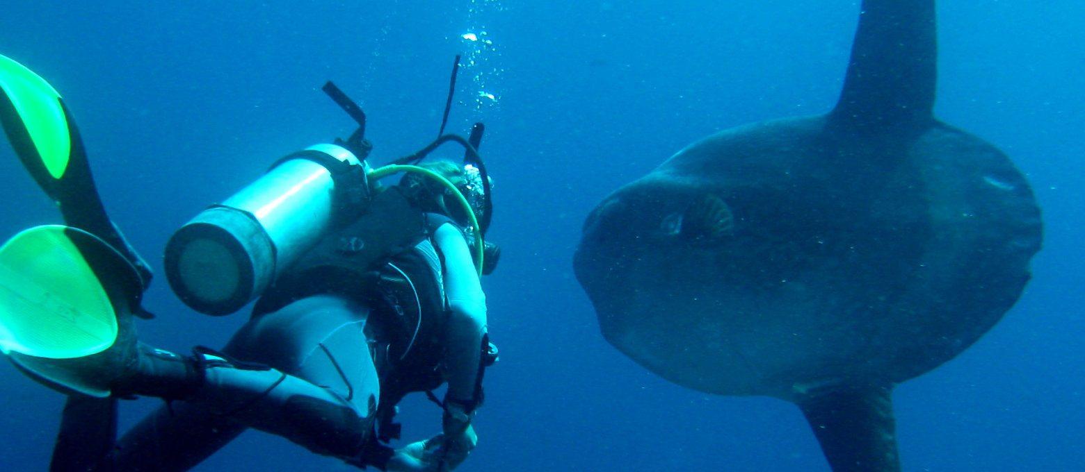 Sun fish atau ikan mola kerap terlihat di daerah Nusa Penida. (dok. baliscuba)