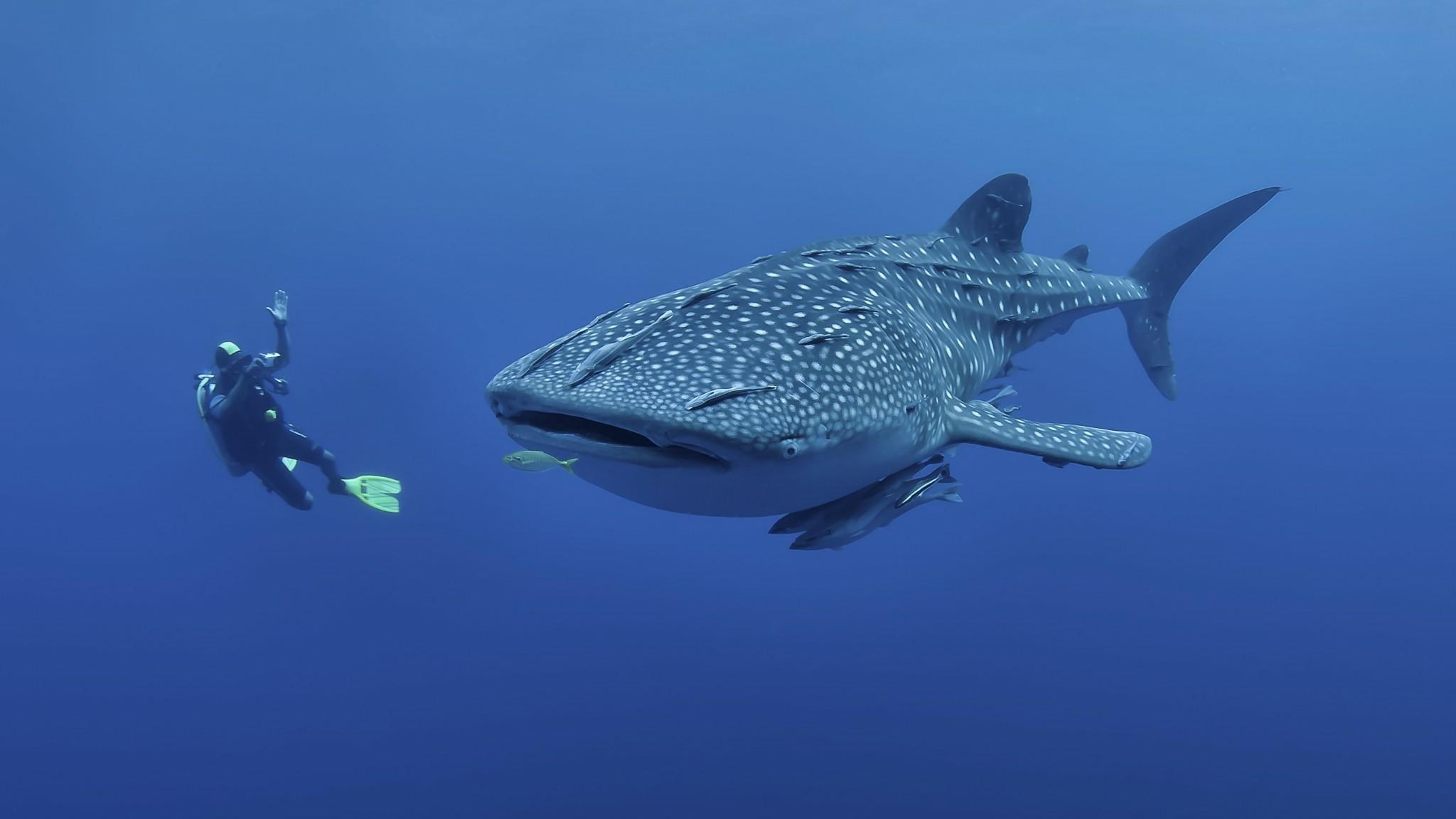 Hiu paus di Teluk Bintuni. (dok. asiatoday)