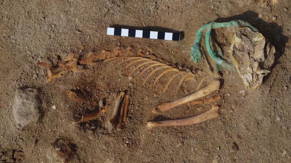 Fosil seekor kucing yang dikuburkan dengan hiasan di lehernya. (dok. livescience)