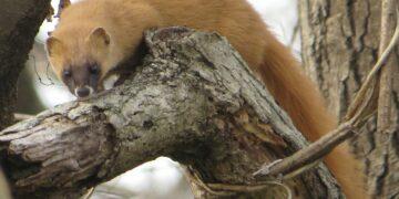 Perkebunan Ganja Ancam Musnahkan Musang Humboldt 21