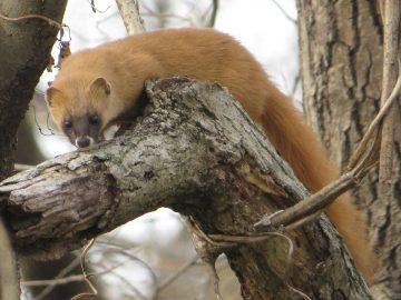 Perkebunan Ganja Ancam Musnahkan Musang Humboldt 7