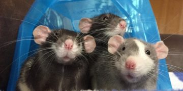 Tiga Ekor Tikus di Dapur 11