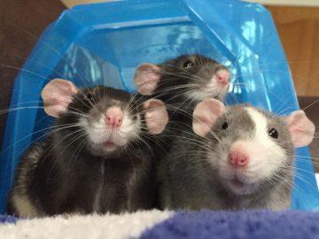 Tiga Ekor Tikus di Dapur 5