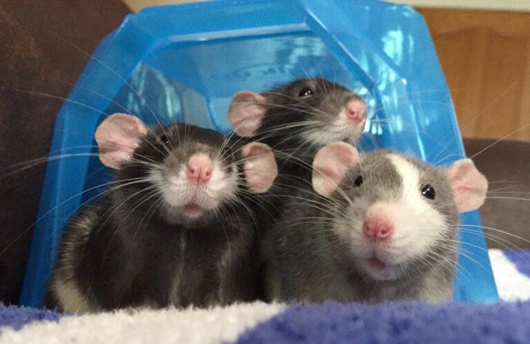 Tiga Ekor Tikus di Dapur 1