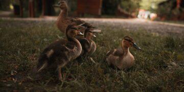4 Jenis Pakan Untuk Mempercepat Pertumbuhan Bebek 14