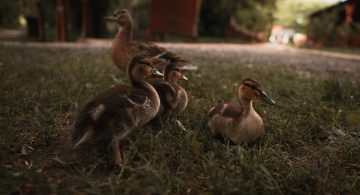 4 Jenis Pakan Untuk Mempercepat Pertumbuhan Bebek 5