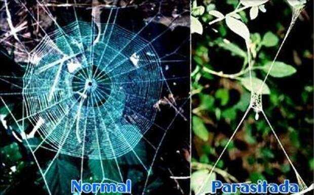 Mirip Zombie, 10 Parasit ini Bisa Ngendaliin Inangnya 7