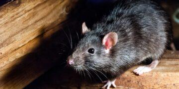 8 Tanda Keberadaan Tikus di Sekitar Kita, Yuk Kenali Tandanya 10