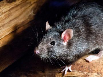 8 Tanda Keberadaan Tikus di Sekitar Kita, Yuk Kenali Tandanya 4