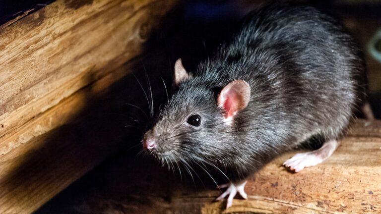 8 Tanda Keberadaan Tikus di Sekitar Kita, Yuk Kenali Tandanya 1