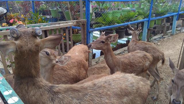 Foto : Rusa di taman Satwa Yamai Atib ( Sumber : dok.pri/Rian Raymon )