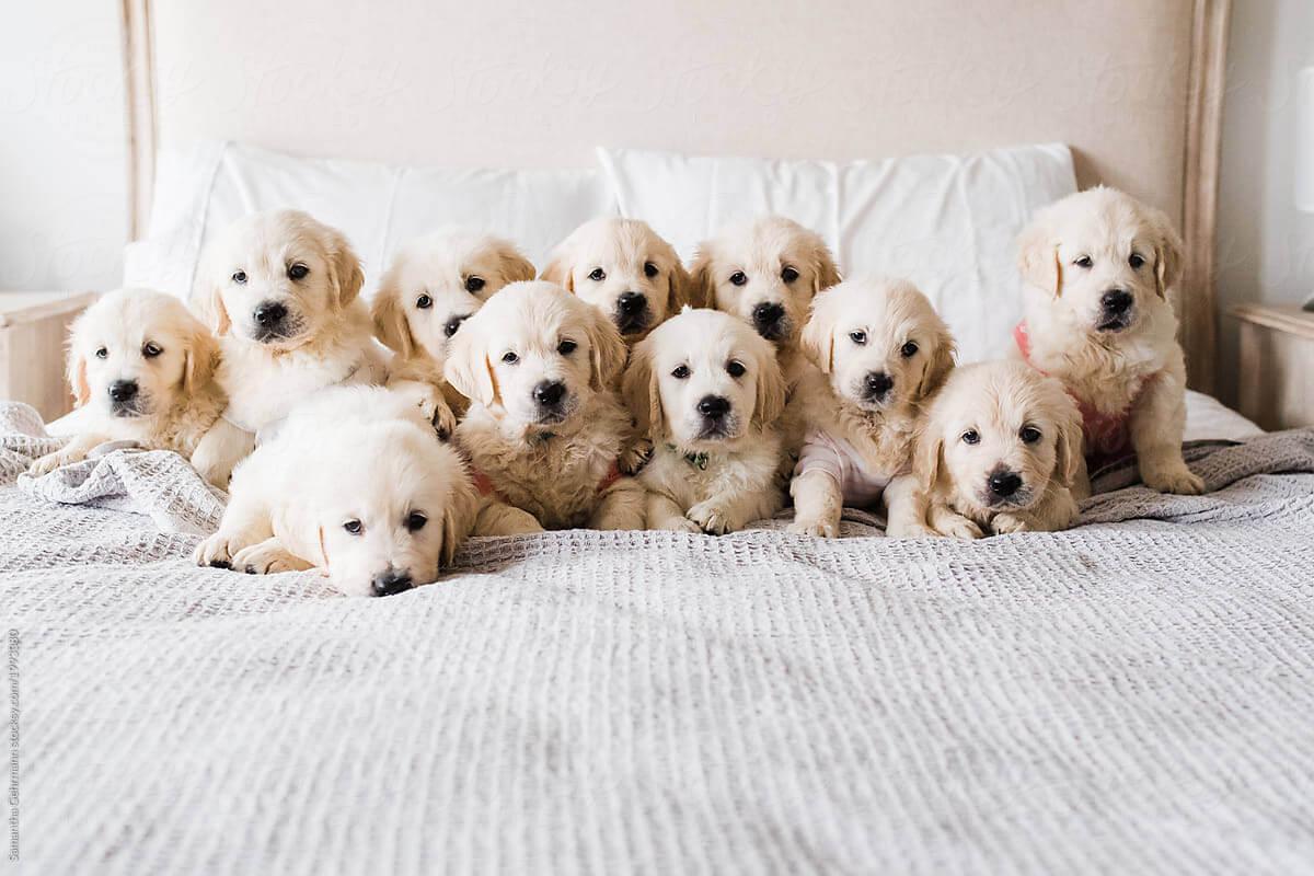 Anjing Golden : Karakter, Variasi Jenis, kelebihan & Harga (Update) 8