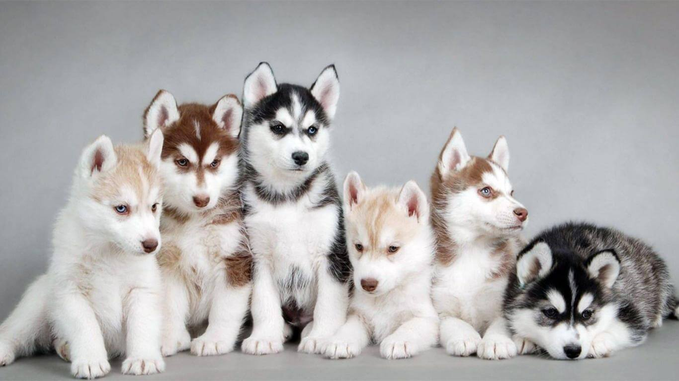 anak Anjing Husky