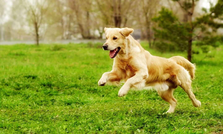 Anjing Golden : Karakter, Variasi Jenis, kelebihan & Harga (Update) 1