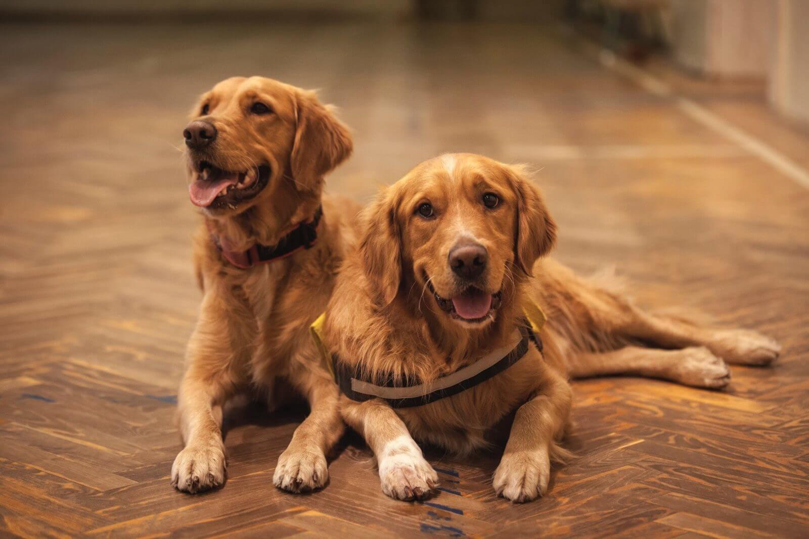 Anjing Golden : Karakter, Variasi Jenis, kelebihan & Harga (Update) 16