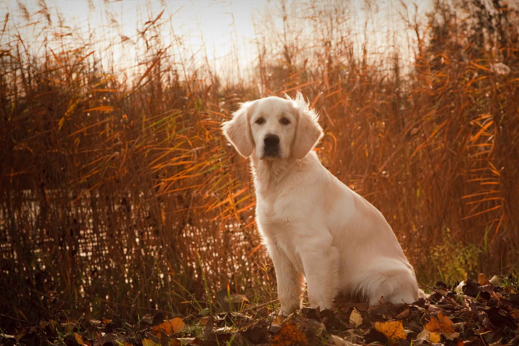 Anjing Golden : Karakter, Variasi Jenis, kelebihan & Harga (Update) 2
