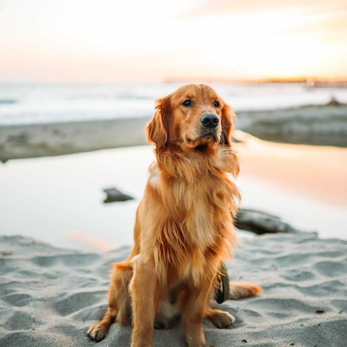 Anjing Golden : Karakter, Variasi Jenis, kelebihan & Harga (Update) 3