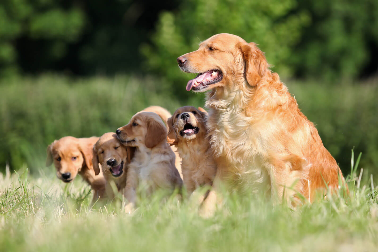 Anjing Golden : Karakter, Variasi Jenis, kelebihan & Harga (Update) 7