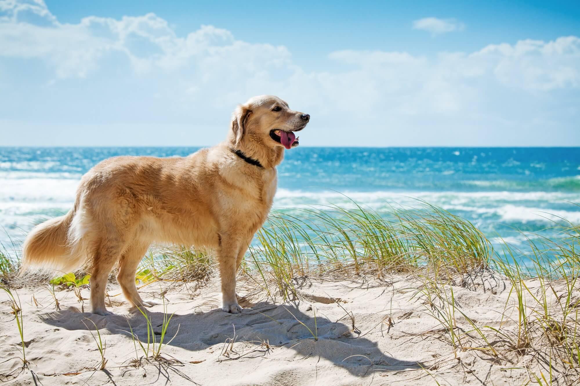 Anjing Golden : Karakter, Variasi Jenis, kelebihan & Harga (Update) 9