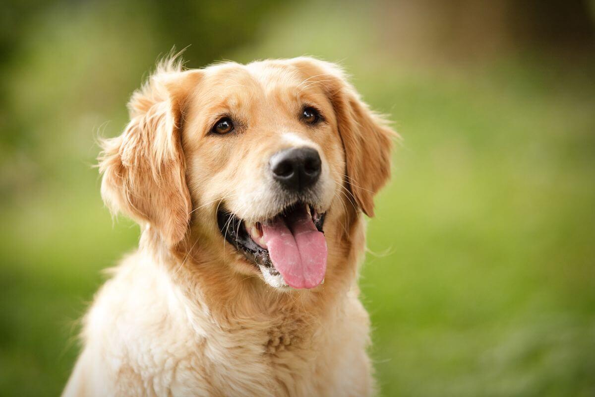 Anjing Golden : Karakter, Variasi Jenis, kelebihan & Harga (Update) 14