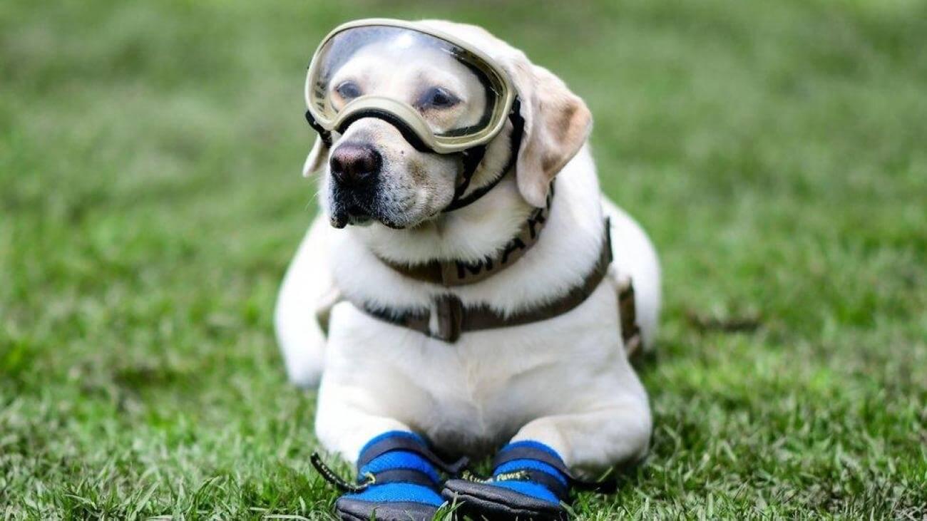 Anjing Golden : Karakter, Variasi Jenis, kelebihan & Harga (Update) 5