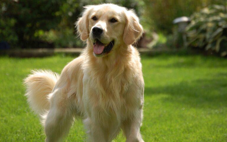 anjing golden