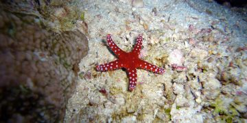 Yuk Cari Tahu Keunikan Bintang Laut, Lengan Yang Putus Dapat Hidup Lagi! 21