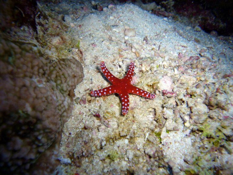 Yuk Cari Tahu Keunikan Bintang Laut, Lengan Yang Putus Dapat Hidup Lagi! 1