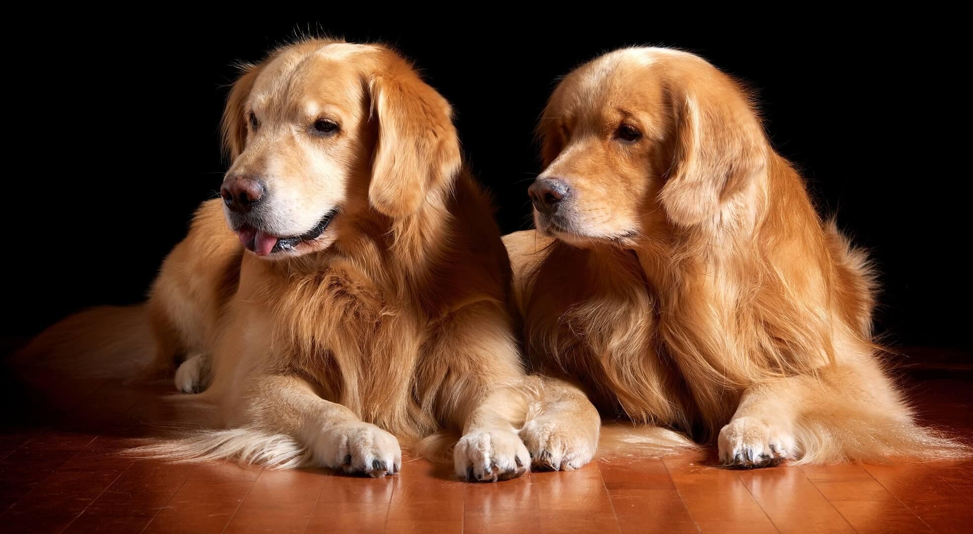 Anjing Golden : Karakter, Variasi Jenis, kelebihan & Harga (Update) 13