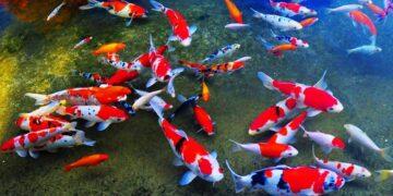 4 Ikan Koi Termahal Di Dunia 19