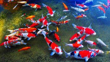 4 Ikan Koi Termahal Di Dunia 4
