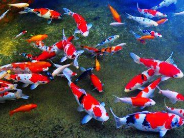 4 Ikan Koi Termahal Di Dunia 8