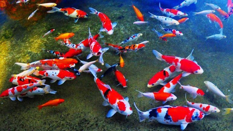 4 Ikan Koi Termahal Di Dunia 1