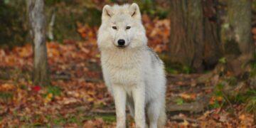 5 Jenis Ras Anjing Mirip Serigala yang Aman Dipelihara, Salah Satunya Siberian Husky 20