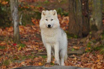 5 Jenis Ras Anjing Mirip Serigala yang Aman Dipelihara, Salah Satunya Siberian Husky 2