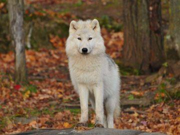 5 Jenis Ras Anjing Mirip Serigala yang Aman Dipelihara, Salah Satunya Siberian Husky 12